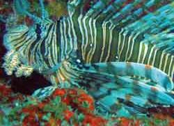 Protocolo Indicador Densidad poblacional de pez león (Pterois volitans)